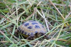 Kleine Schildkröte, die in das hohe erforschende Gras kriecht Stockfoto
