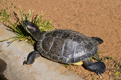 Kleine Schildkröte, die im Sun sich aalt Stockbild