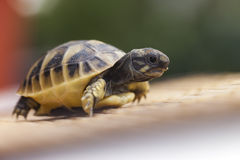 Kleine Schildkröte an Hand Lizenzfreie Stockbilder