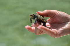 Kleine Schildkröte im Arm Stockfotos