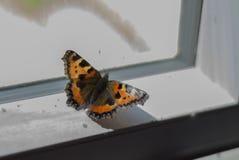 Kleine Schildkröte Shell Butterfly auf Fensterbrett Stockfoto