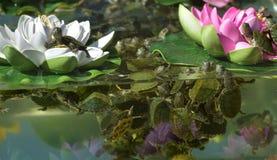 Kleine Schildkröten im Aquarium Stockbild