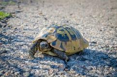 Kleine schildpad die een landweg in Griekenland, Europa kruisen royalty-vrije stock fotografie