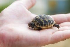 Kleine schildpad op hand Stock Afbeeldingen