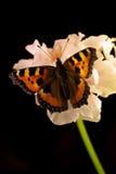 Kleine schildpadvlinder op bloem Royalty-vrije Stock Afbeeldingen