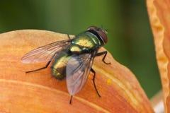 Kleine schillernde Fliege, die an einem orange Tag Lilly ein Sonnenbad nimmt Stockbilder