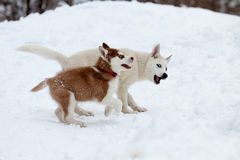 Kleine Schlittenhunde, die im Schnee spielen Stockfotos