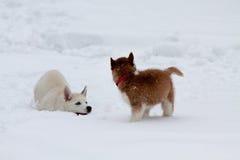Kleine Schlittenhunde, die im tiefen Schnee spielen Lizenzfreie Stockbilder