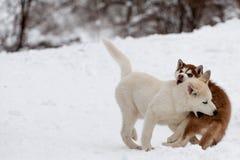 Kleine Schlittenhunde, die sich beißen Stockfotos