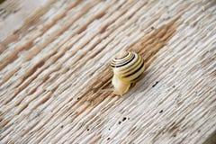 Kleine Schnecke auf dem Holz stockfotos