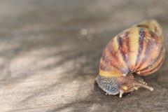 Kleine Schnecke auf einem Holzfußboden lizenzfreies stockbild