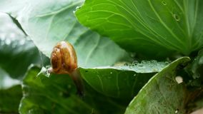 Kleine Schnecke, die auf Kohlblatt beim Regnen kriecht stock video