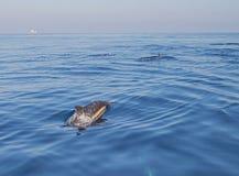 Kleine school/peul van de gemeenschappelijke dolfijnen van de flessenneus in de Vreedzame oceaan tussen Santa Barbara en Kanaalei royalty-vrije stock foto