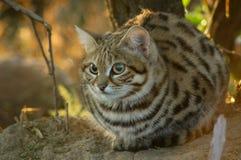 Kleine schwarze füßige Katze (Felis negripes) Lizenzfreie Stockfotos