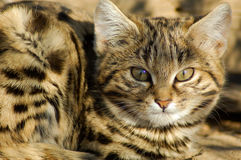 Kleine schwarze füßige Katze (Felis negripes) Stockbilder