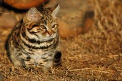 Kleine schwarze füßige Katze (Felis negripes) Stockfotografie