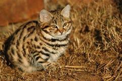 Kleine schwarze füßige Katze (Felis negripes) Stockfotos