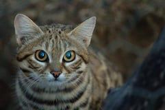 Kleine schwarze füßige Katze (Felis negripes) Lizenzfreie Stockfotografie