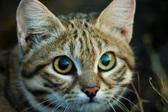 Kleine schwarze füßige Katze (Felis negripes) Lizenzfreie Stockbilder