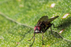 Kleine schwarze Fliege mit roten Augen Lizenzfreies Stockfoto