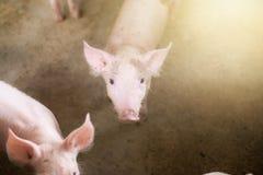 Kleine Schweine am Bauernhof, Schweine im Stall Stockfotos