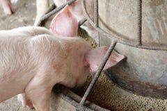 Kleine Schweine im Stall stockbild