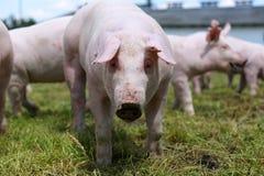 Kleine Schweingesichtsnahaufnahme an der ländlichen Szenensommerzeit der Farm der Tiere Lizenzfreie Stockfotografie