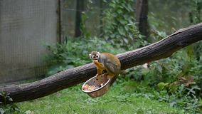 Kleine sciureus van Saimiri van de aap Latijnse naam eet op de houten boomstam Leuke aap die natuurlijk in het gebied van Zuid-Am stock videobeelden