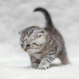Kleine Scottish falten das Kätzchen, das auf weißem Hintergrund aufwirft Stockfotos