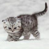 Kleine Scottish falten die Miezekatze, die auf weißem Hintergrund aufwirft Stockbild