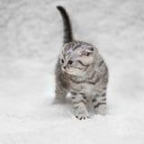 Kleine Scottish falten Kätzchen auf weißem Unschärfehintergrund Stockbild