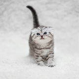 Kleine Scottish falten Kätzchen auf weißem Unschärfehintergrund Stockfotografie