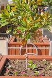 Kleine sierboom in de vierkante houten pot Stock Afbeelding