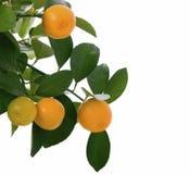 Kleine sinaasappel op geïsoleerde boom - macro Stock Foto's