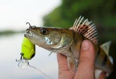 Kleine snoekbaarzen in fisheman hand royalty-vrije stock foto