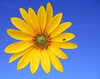 Kleine Sonnenblume Stockfoto