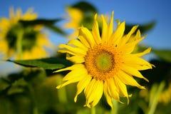 Kleine Sonnenblume Lizenzfreie Stockfotos