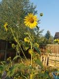 Kleine Sonnenblume Stockfotos
