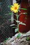 Kleine Sonnenblume in den harten Bedingungen - Energie der Natur stockfotos
