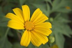 Kleine Sonnenblume Leuchtstoff morgens Stockfotografie