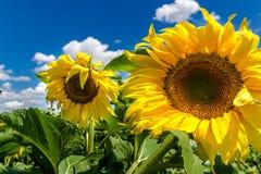 Kleine Sonnenblumenanlagen Lizenzfreies Stockbild