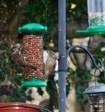 Kleine Spatzen-Garten-Vögel 2 stockfoto