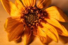 Kleine Spezies der Blume Lizenzfreies Stockbild