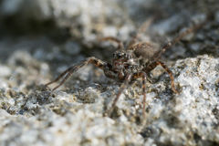 Kleine Spinne auf einem Felsen stockbild