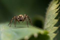 Kleine Spinne auf einem grünen Blatt stockfotos