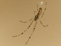 Kleine Spinne hängt über Cupholder Lizenzfreies Stockfoto