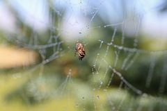 Kleine Spinne, welche die Wanze eingeschlossen im Pfeiler-Netz isst stockfoto