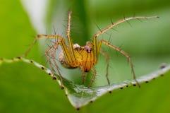 Kleine Spinnen stockbilder