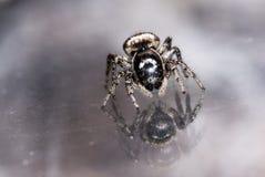 Kleine springende Spinne sieht Reflexion im Glas stockfotos