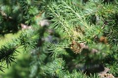 Kleine spruce& x27; s kegel Royalty-vrije Stock Fotografie